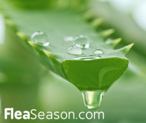 Use Aloe Vera juice as a Flea Spray