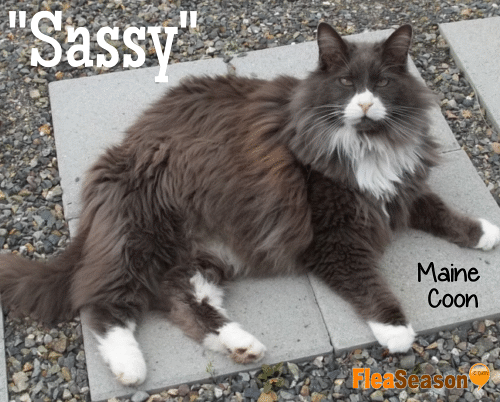 Sassy our Main Coon gray cat.