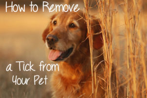 How to Safely Remove a Tick from Dog or Cat