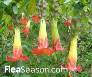 30 poisonous plants to dogs and cats include the Angel Trumpet