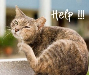 Learn how to kill Fleas on your cat and in the house, plus how Fleas can kill kittens.