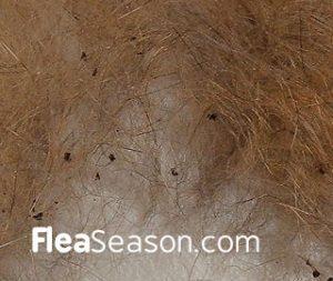Picture of Flea Dirt, otherwise known as Flea Poop or Flea Waste