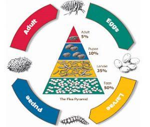Flea Life Cycle visual