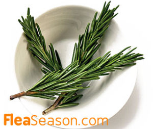 Fresh Rosemary Leaves as a Flea Soak
