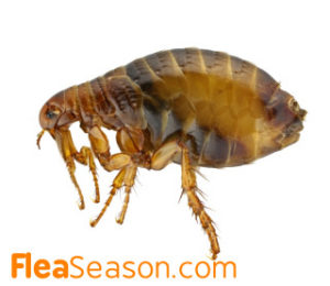 Enlarged picture of a Flea - Fleas have no wings but have strong legs and are fast jumpers